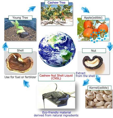 About Cashew - Cashew | TCI